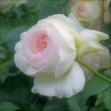 白庭(Shironiwa)