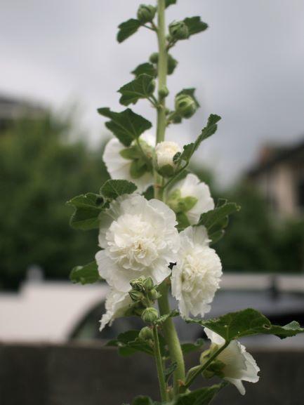 ホリーホック花