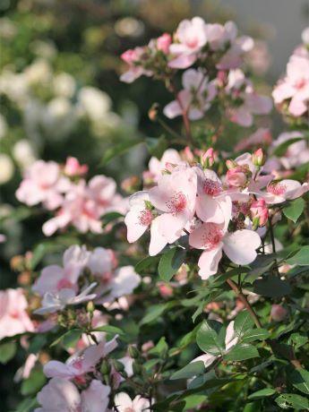 ピンクサクリーナ2