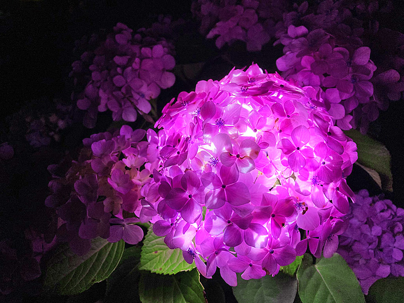 210615,紫陽花のランプシェイド1