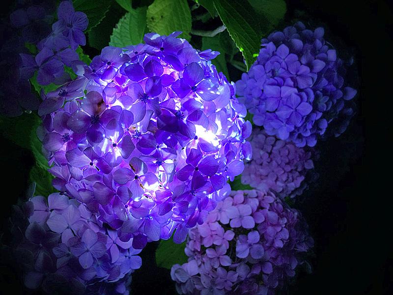 210615,紫陽花のランプシェイド2