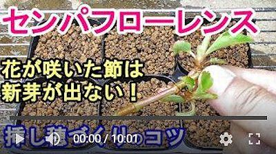 センパフローレンス挿し木動画