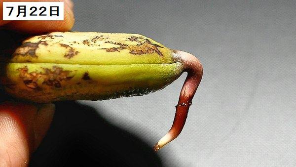 まんごー14