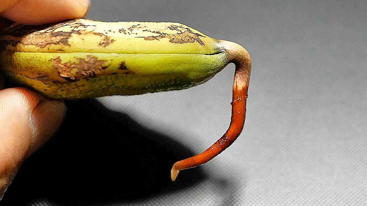 マンゴーの鉢植え1 種採り/発根/植え付け