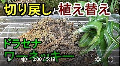 ドラセナの植え替え動画