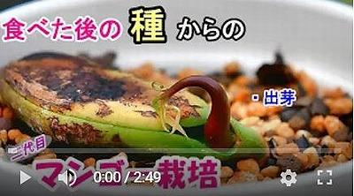 マンゴーの出芽動画