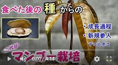 マンゴーの出芽成長動画