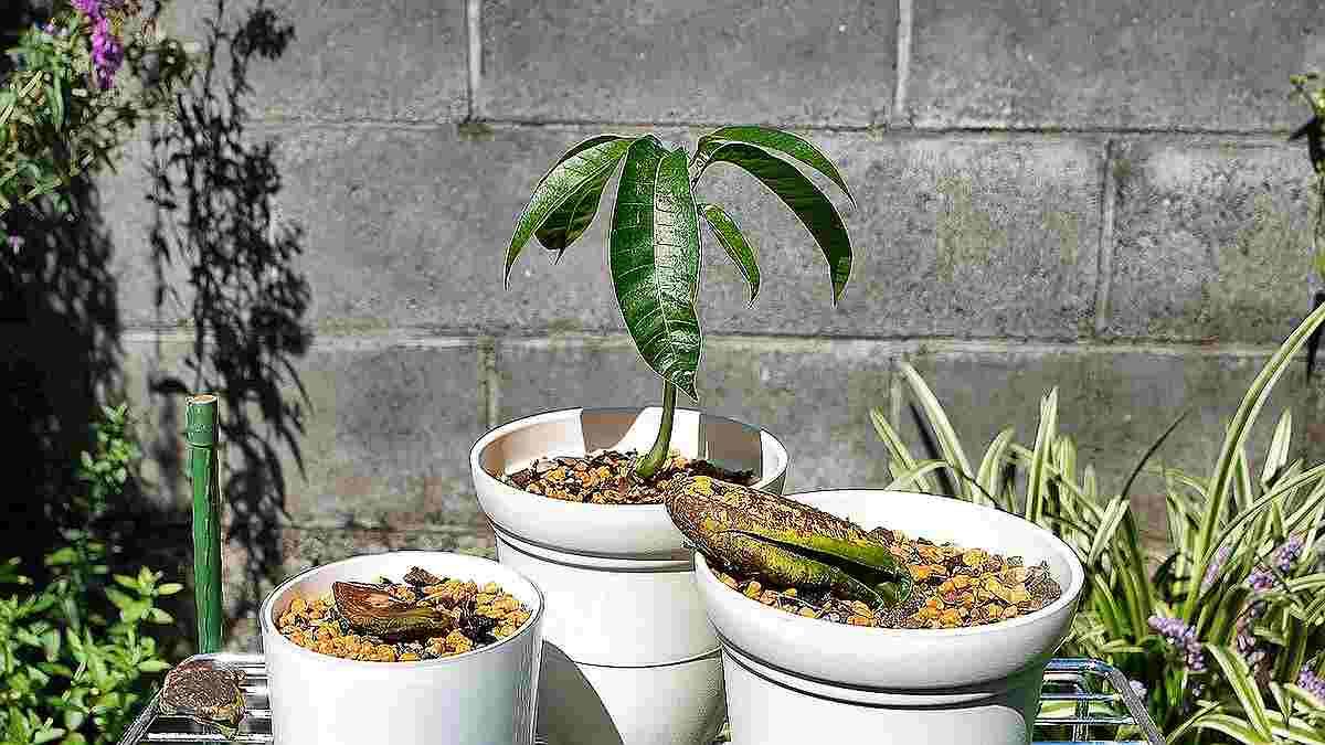マンゴーの鉢植え4 一本立ち(子葉の切り離し)