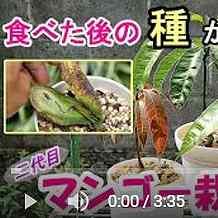 マンゴーの鉢植えスピンオフ動画