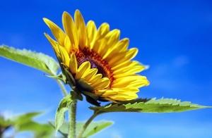 sunflower-1536088_640.jpg