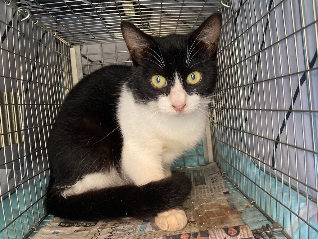 千葉県印旛郡酒々井町:トラバサミによる猫虐待事件:経過報告10/7:1匹保護