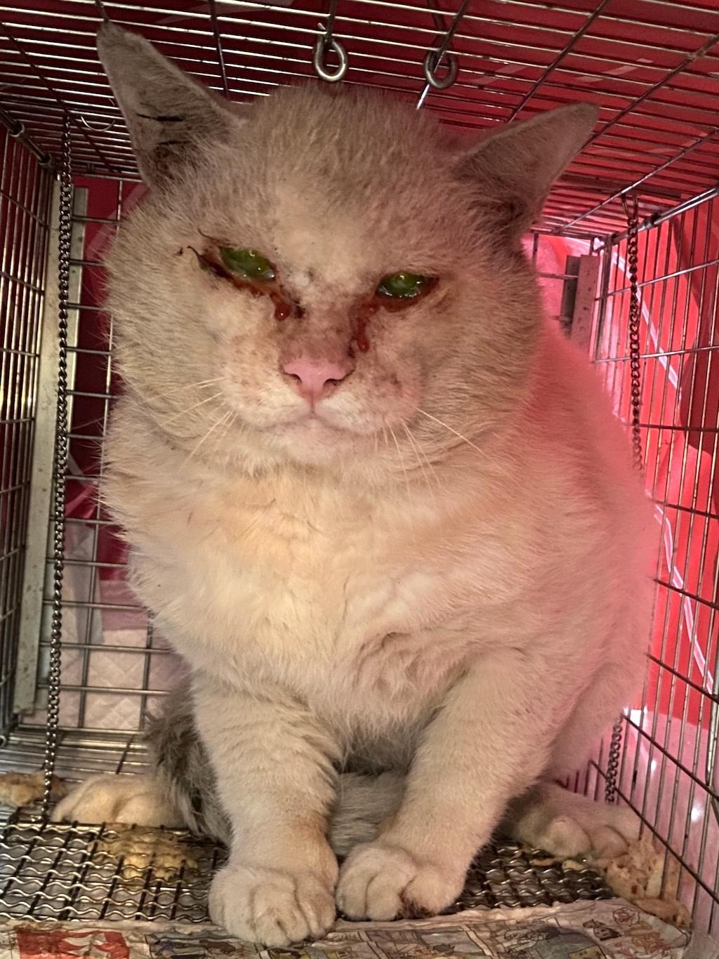 白猫くん、手術が終わって、おメメも綺麗になったよ⤴️