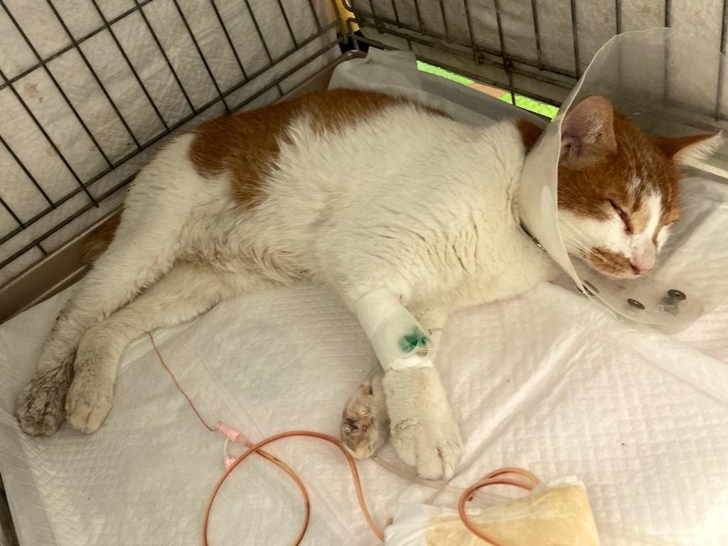 江戸川区多頭飼育崩壊(地域猫)瀕死の、のんのんちゃん:五分五分の状態です