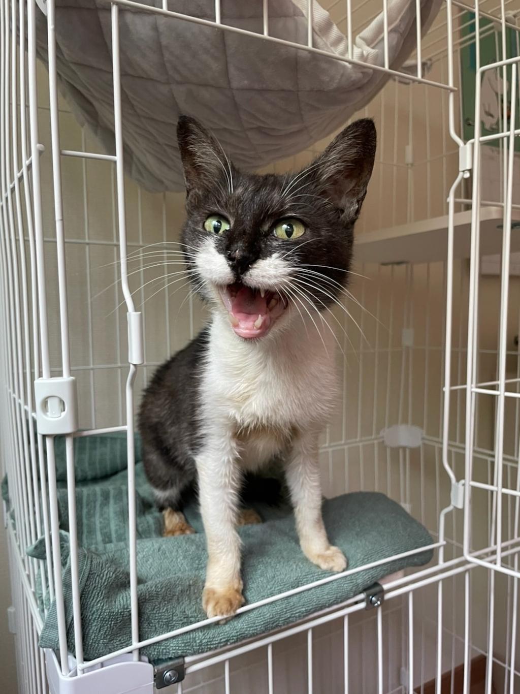 千葉県印旛郡酒々井町:トラバサミによる猫虐待事件:里親募集中:ダリアちゃん