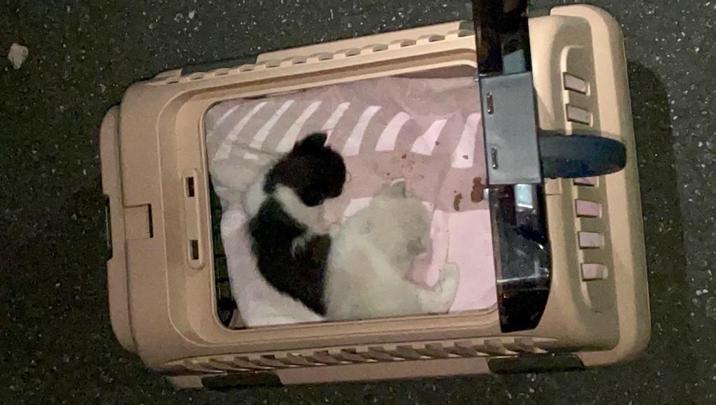 千葉県印旛郡酒々井町:トラバサミによる猫虐待事件:9/10(夜)乳飲み子2匹保護