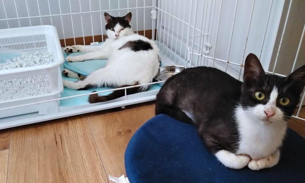 千葉県印旛郡酒々井町:トラバサミによる猫虐待事件:里親募集中:ナンシー&ルーシーちゃん