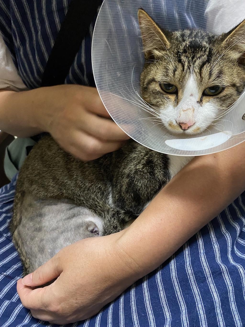 千葉県印旛郡酒々井町:トラバサミによる猫虐待事件:ミッキーちゃん断脚手術後の経過報告
