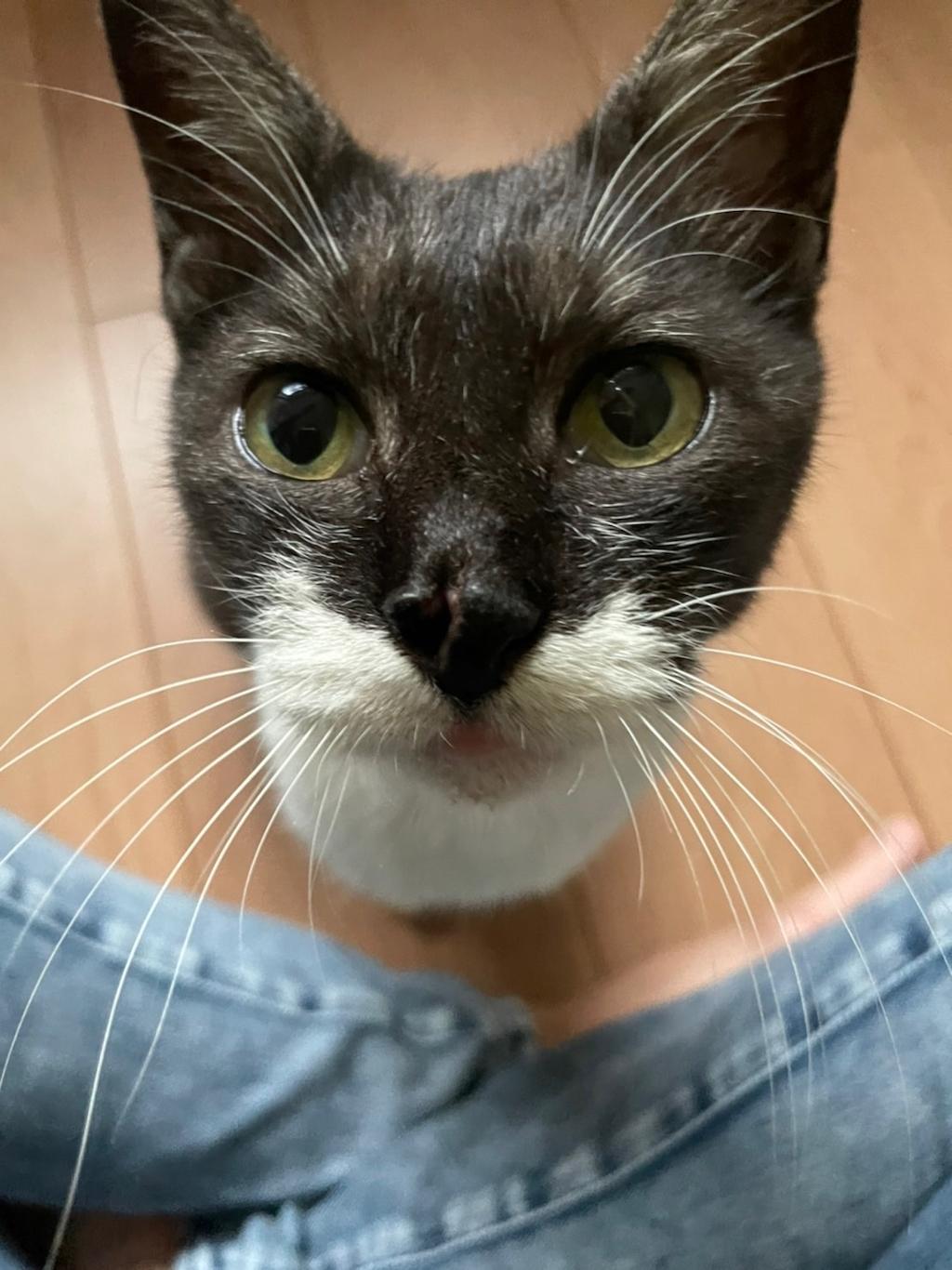 千葉県印旛郡酒々井町:トラバサミによる猫虐待事件:ダリアちゃん