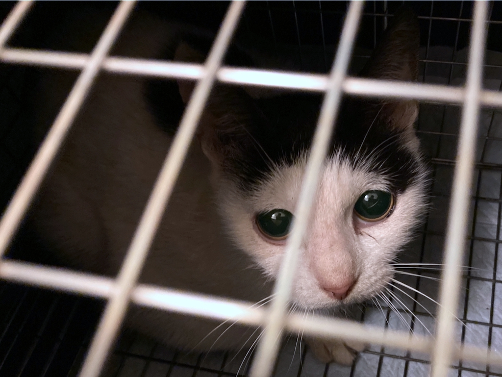 千葉県印旛郡酒々井町:トラバサミによる猫虐待事件:経過報告10/9:1匹保護