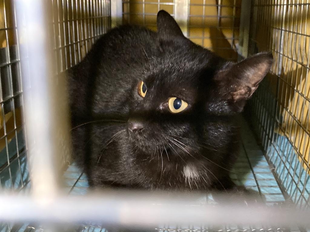 千葉県印旛郡酒々井町:トラバサミによる猫虐待事件:経過報告10/23:1匹保護