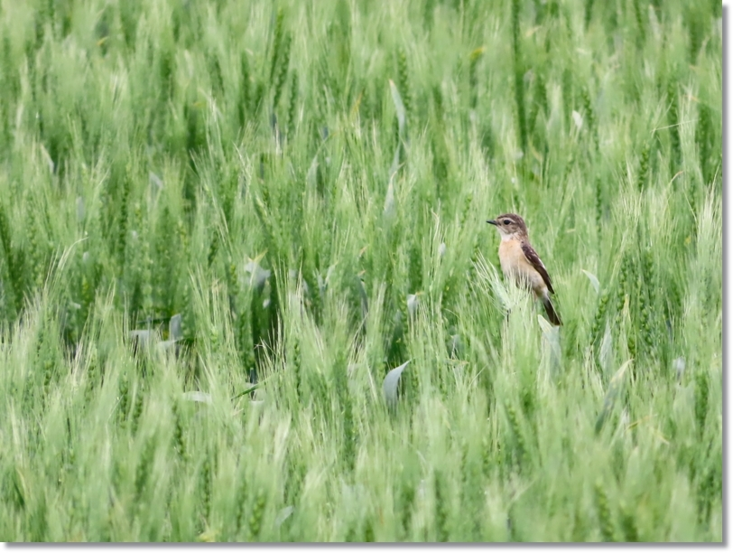 麦畑とノビタキ