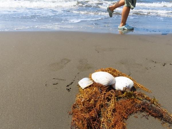 貝殻と海藻