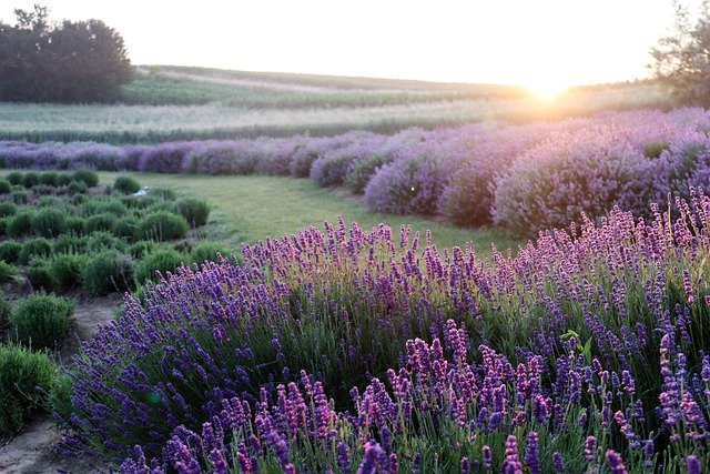 lavender-6398415_640.jpg