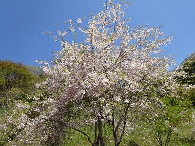 遅咲きの山桜