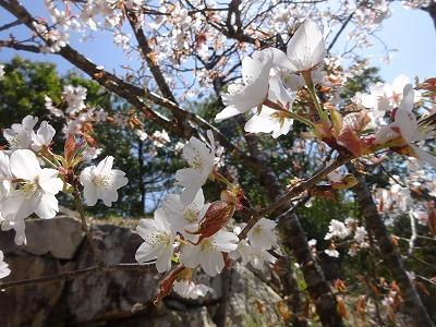 石垣と山桜