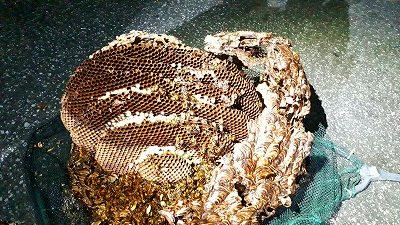 キイロスズメバチの巣2